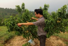 Kết quả nghiên cứu tuyển chọn và khảo nghiệm giống đào Flordaprince