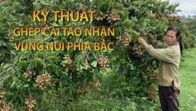 Kỹ thuật ghép cải tạo cây nhãn vùng núi phía Bắc