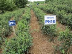 Nghiệm thu Xuất sắc dự án: Thâm canh chè VietGAP tại Thái Nguyên