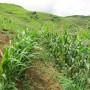 Tài liệu kỹ thuật: Canh tác ngô bền vững trên đất dốc ở miền núi phía Bắc